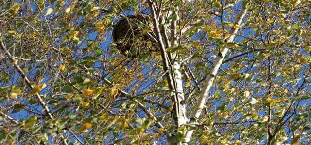 Premier nid de frelon asiatique (Vespa velutina) en Belgique