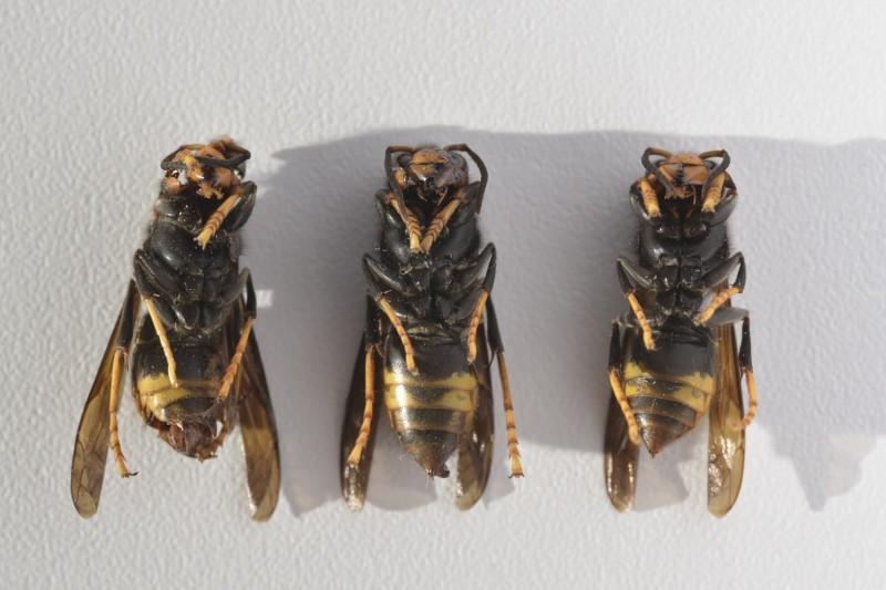 vespa-velutina-belgique-1