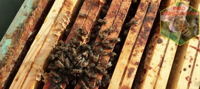 Pertes importantes au rucher…