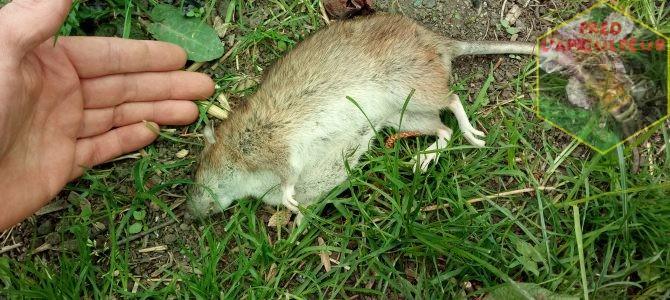 Rats au poulailler….