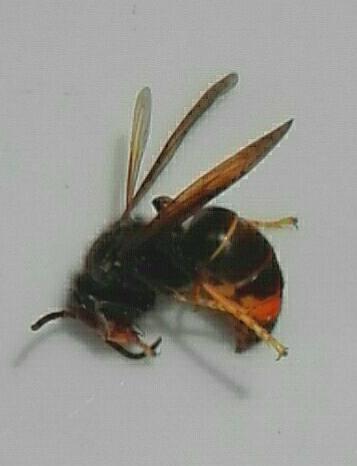 frelon asiatique Belgique velutina