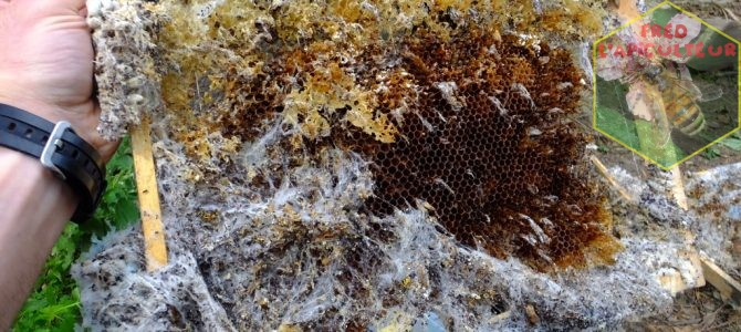 La fausse-teigne des ruches