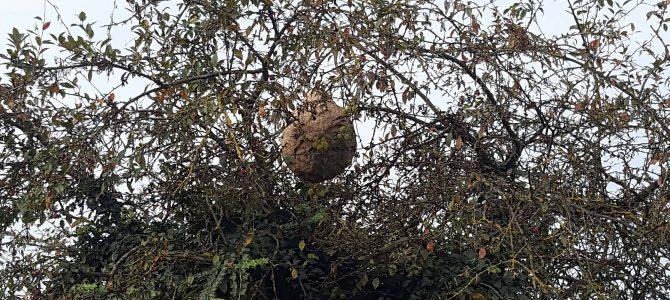 Destruction du premier nid actif de frelon asiatique en Belgique