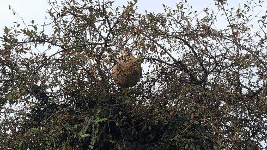 destruction du premier nid actif de frelon asiatique en belgique fred l 39 apiculteur. Black Bedroom Furniture Sets. Home Design Ideas