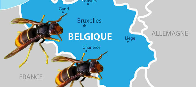 Progression du frelon asiatique en Belgique