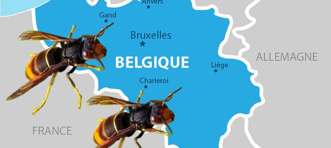 Progression du frelon asiatique en Belgique