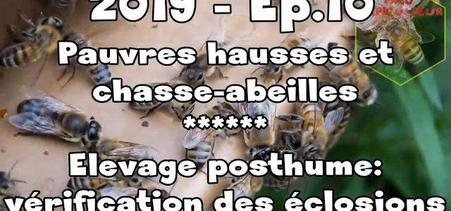 Pauvres hausses et chasse-abeilles/Elevage posthume: vérification des éclosions