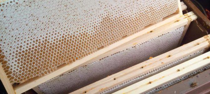 Récolte du miel de tilleul (suite)
