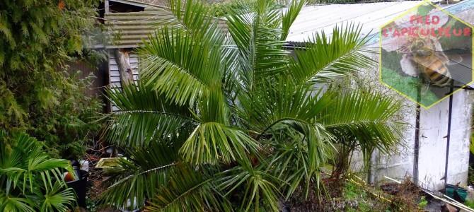 Evolution d'un de mes cocotiers du Chili -Jubaea chilensis- depuis sa plantation en 2006