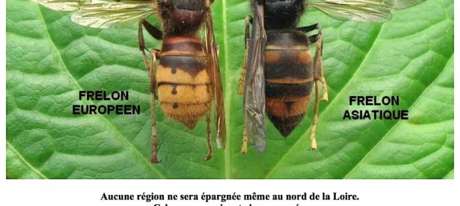 Frelon asiatique (Vespa velutina) en Belgique et piégeage: info ou intox???