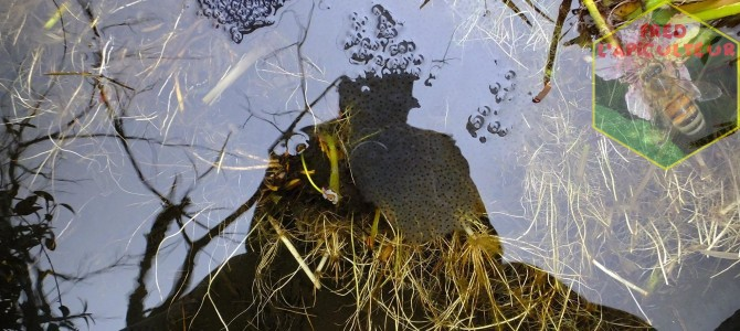 Ponte des grenouilles rousses au jardin
