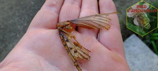 Cadavre de Sphinx tête-de-mort dans une ruche d'abeilles!