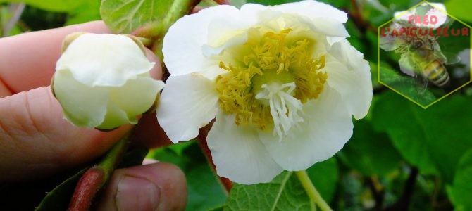 Enfin la floraison des kiwis!