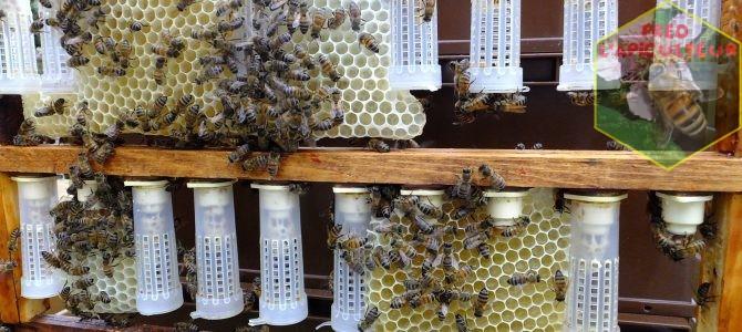 Bigoudis et miellée