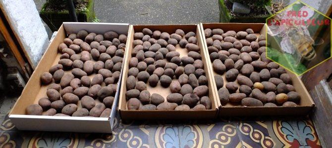 Sarpo Mira et Bionica: test de pommes de terre résistantes au mildiou