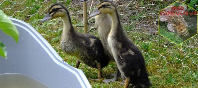 Première sortie et premier bain pour les bébés canards coureurs indiens