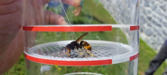 Frelon asiatique: première attaque de rucher en Belgique…