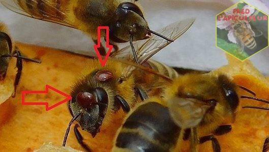 Récolte de Varroa et infestation