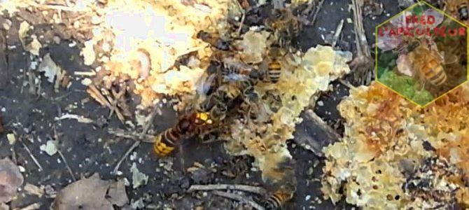 Frelon européen contre abeille