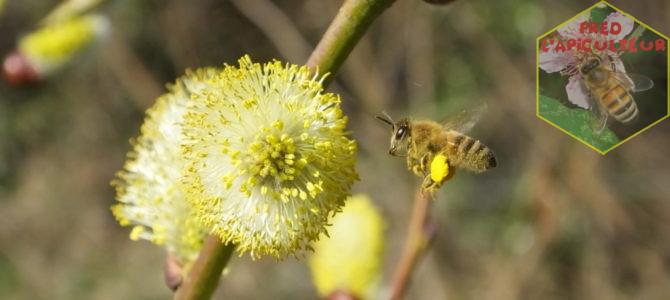 Les saules en apiculture